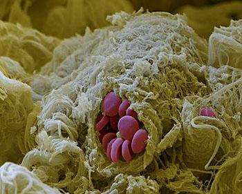 Kapillærer med røde blodlegemer i fra Eye of Science