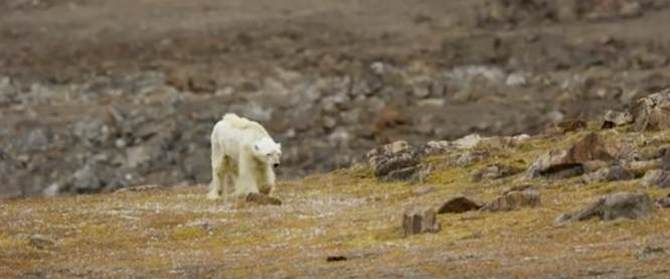 Sultende isbjørn maner myter frem i Asger Aamund